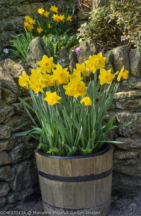 Narcissus 'Best Seller' in wooden barrel