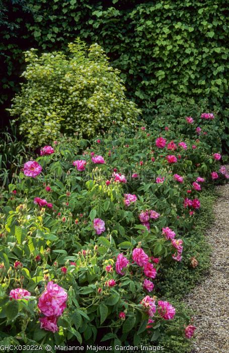 Rosa gallica 'Versicolor', syn. Rosa mundi