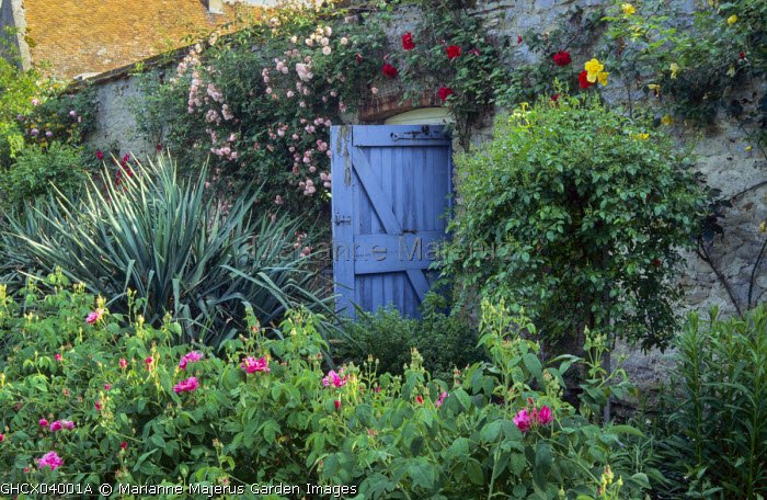 Blue painted gate in wall, Rosa gallica 'Versicolor', syn. Rosa mundi, yucca