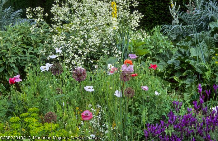 Allium hollandicum, Papaver rhoeas 'Mother of Pearl', Crambe cordifolia, Lavandula stoechas subsp. pedunculata