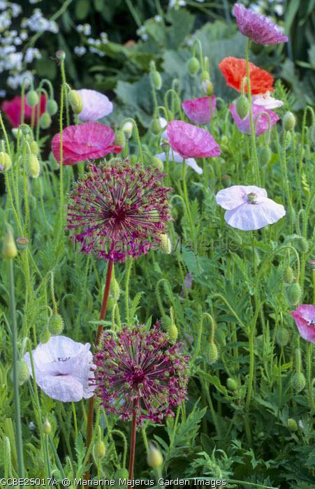 Allium hollandicum 'Purple Sensation', Papaver rhoeas 'Mother of Pearl'