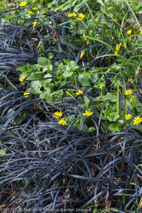 Ophiopogon planiscapus 'Nigrescens', Ranunculus ficaria