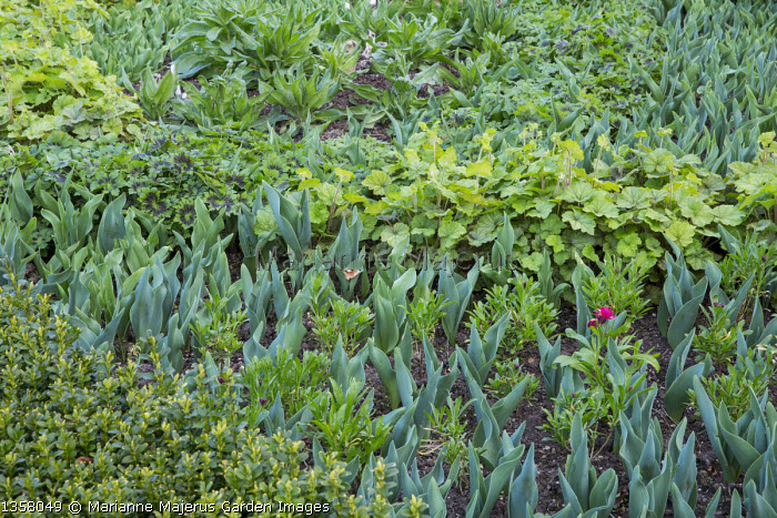 New foliage of tulips, tiarella and wallflowers in spring border