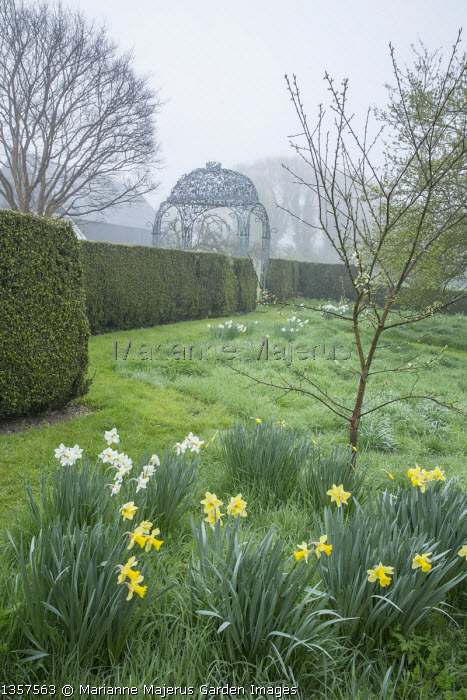 Narcissus naturalised in lawn, yew hedge, metal arbour by Ben Coode-Adams