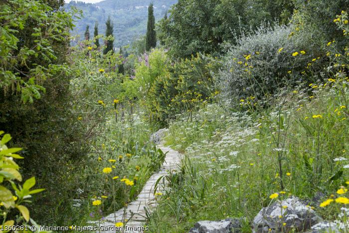 Stone path through mediterranean garden, Tordylium apulum, Sonchus oleraceus, Leontodon tuberosus, Medicago arborea