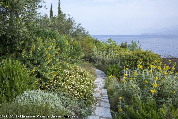 Path though coastal mediterranean garden, Phlomis fruticosa, cistus, rosemary, Medicago arborea