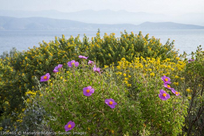 Mediterranean garden, view to sea, cistus, Phlomis fruticosa, Medicago arborea