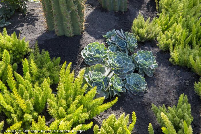 Asparagus densiflorus 'Myersii', echeveria