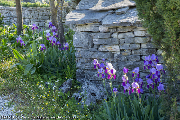 Iris germanica and Anthemis chia by dry-stone wall