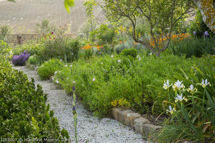 Gravel path, Oenothera speciosa, irises, Eschscholzia californica
