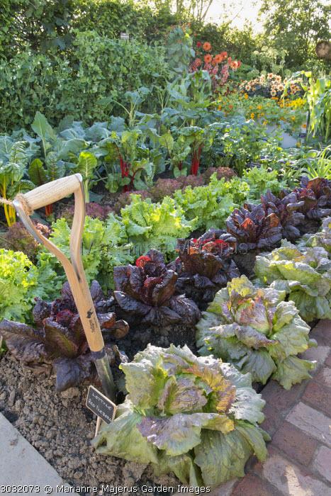 Rows of Pisum sativum 'Shiraz', Beta vulgaris 'Bright Lights', Lettuce 'Lollo Rossa', 'Lettony', 'Nymans' and 'Red Iceberg', dahlias, spade, fork