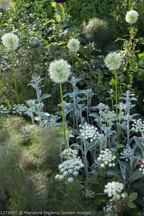 Foeniculum vulgare 'Purpureum', Stachys byzantina, Allium 'Mount Everest', Ammi majus