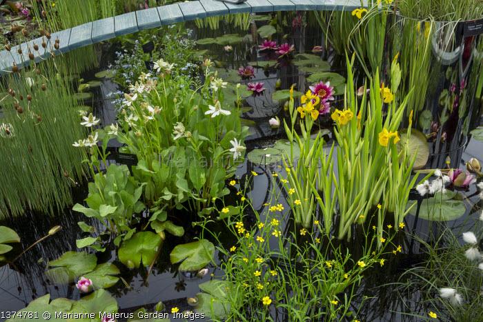Water lily pond, Iris pseudacorus 'Variegata'