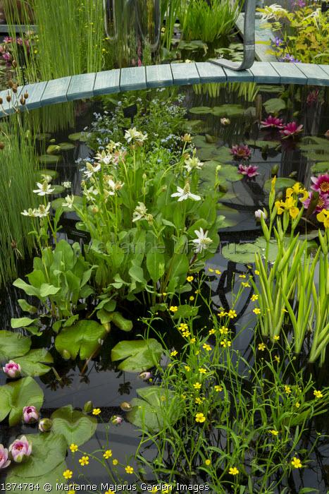 Anemopsis californica, Iris pseudacorus 'Variegata', Ranunculus flammula and water lilies in raised pond