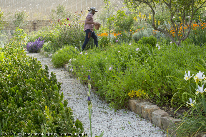 Man walking along gravel path, Oenothera speciosa, irises, Eschscholzia californica
