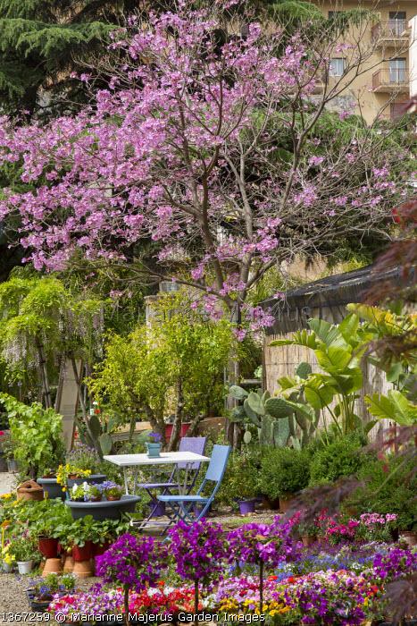 Table and chairs in Sicilian nursery, cactus, standard bougainvillea lollipops