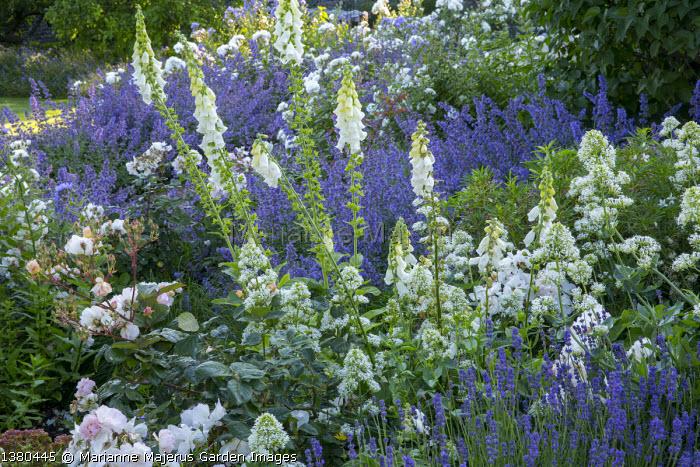Digitalis purpurea f. albiflora, Centranthus ruber 'Albus', Lavandula angustifolia 'Hidcote', Nepeta racemosa 'Walker's Low', Rosa 'Penelope'