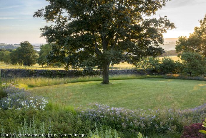 Geranium pratense 'Mrs Kendall Clark', sycamore tree in lawn, Stipa gigantea