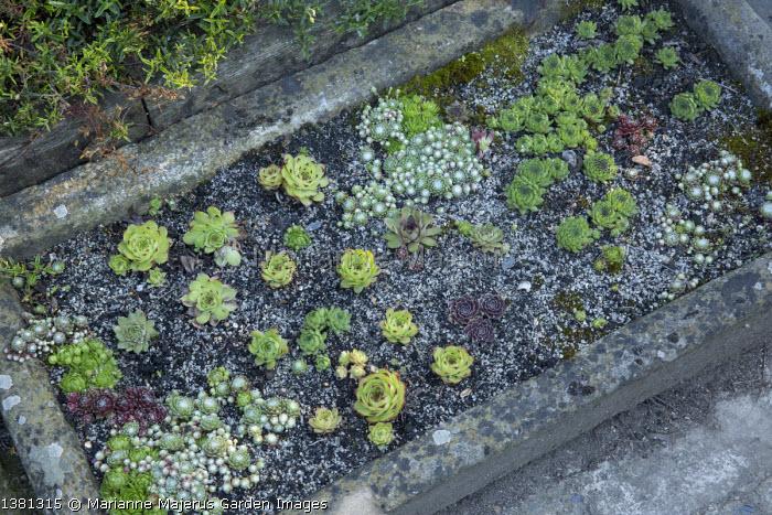 Sempervivums in stone trough