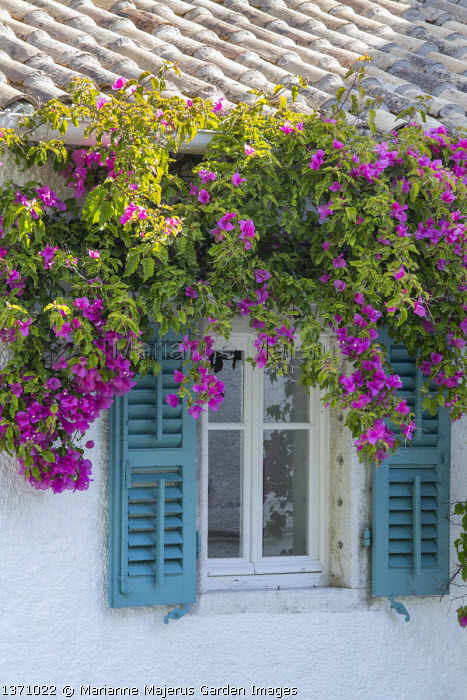 Bougainvillea around window on house wall, blue painted shutters