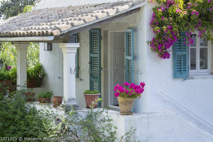 Pelargonium in pot on balcony wall, blue painted shutters, bougainvillea