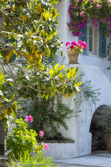 Magnolia grandiflora, bougainvillea around window on house wall, blue painted shutters, pelargoniums in pots