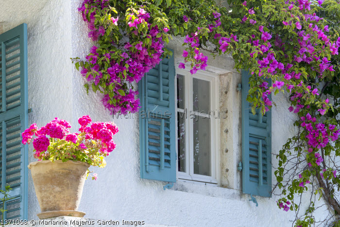 Bougainvillea around window on house wall, blue painted shutters, pelargonium in pots