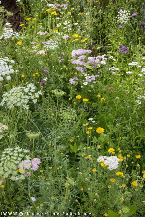 Wildflower meadow, Ammi majus