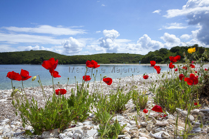 Papaver rhoeas on pebble beach