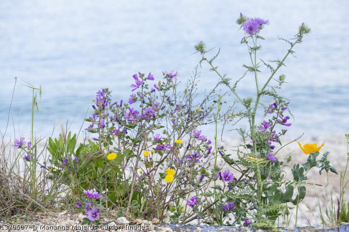 Malva sylvestris and Glaucium flavum on beach