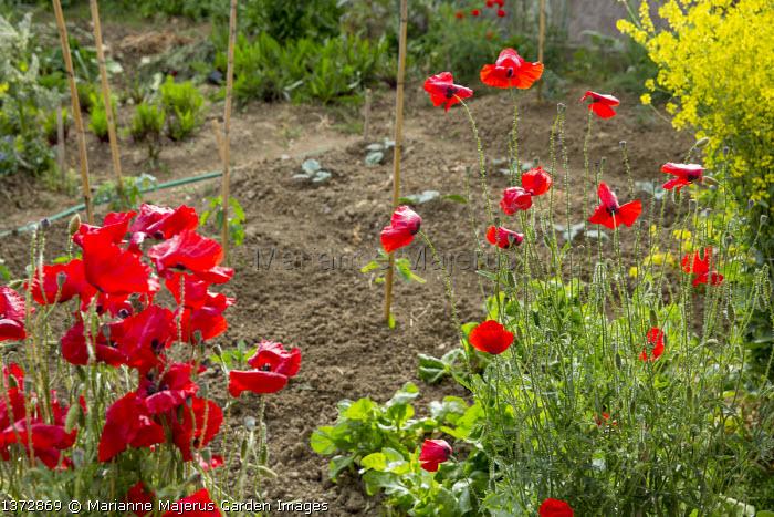 Papaver rhoeas in kitchen garden