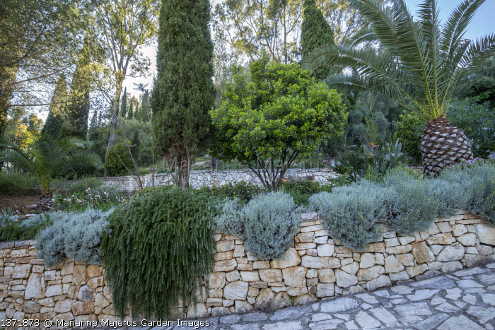 Rosmarinus officinalis Prostratus Group and santolina on dry-stone wall, Date palm