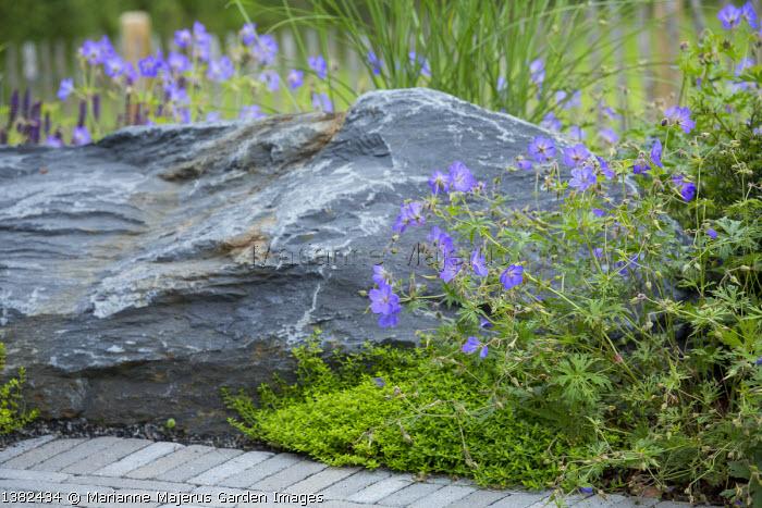 Geraniums around large rock in border