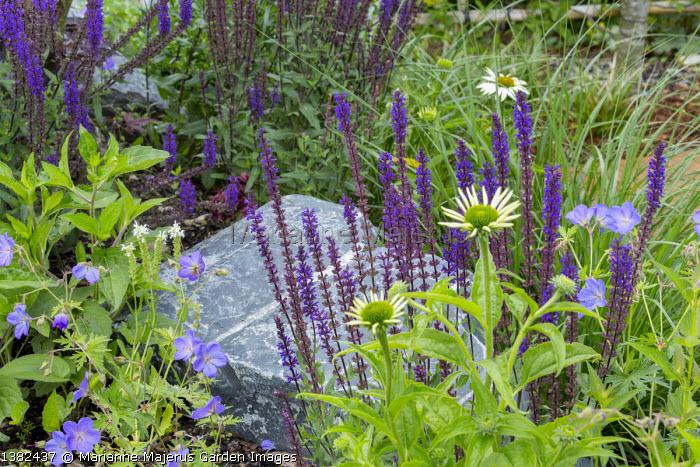 Salvia nemorosa 'Caradonna', geranium and echinacea around large rock in border