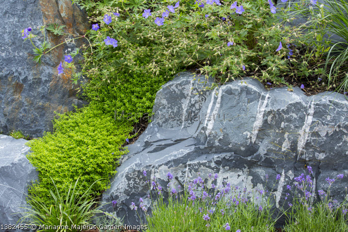 Geraniums and lavender in rockery