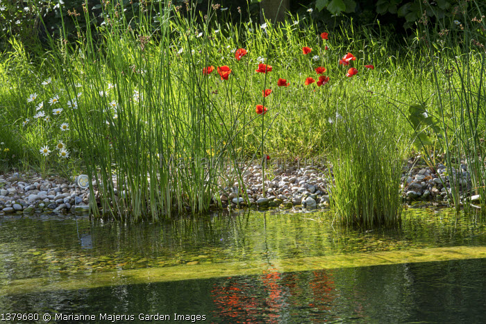 Marginal planting around natural swimming pond, Papaver rhoeas