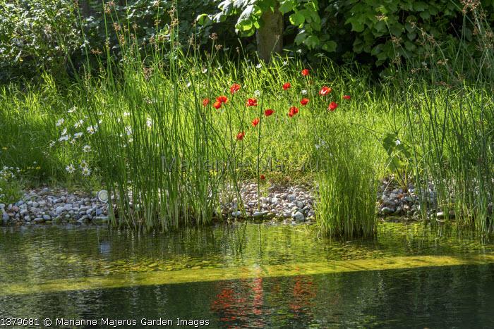 Marginal planting around natural swimming pond, Papaver rhoeas