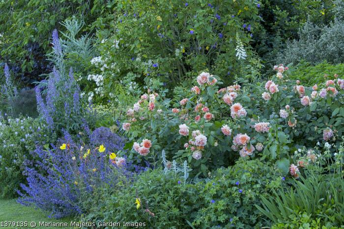 Rosa 'Grace', Nepeta racemosa 'Walker's Low', Abutilon x suntense 'Jermyns', Delphinium requienii