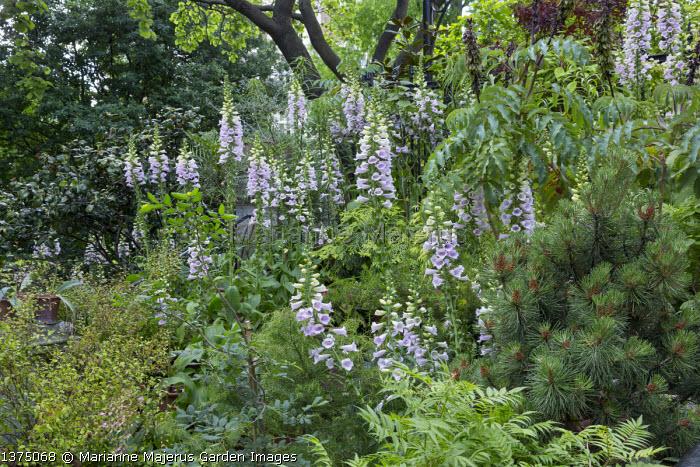 Digitalis purpurea 'Camelot Lavender' (Camelot Series), Sorbaria sorbifolia 'Sem', Melianthus major, Pinus mugo Pumilio Group