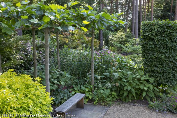 Wooden bench under pleached plane tree arbour, hydrangea