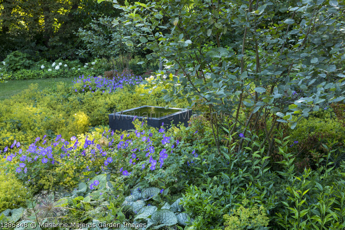 Raised square infinity pool on gravel terrace surrounded by carpet of Alchemilla mollis, geraniums and brunnera, multi-stemmed amelanchier