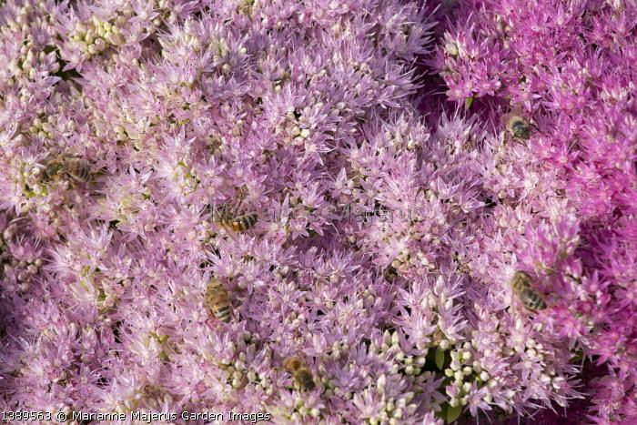 Honeybees on Hylotelephium spectabile Brilliant Group 'Brilliant' syn. sedum spectabile Brilliant Group 'Brilliant'