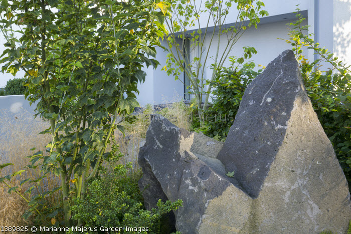 Acer pensylvanicum, large basalt rocks, Ilex crenata 'Convexa', Deschampsia cespitosa