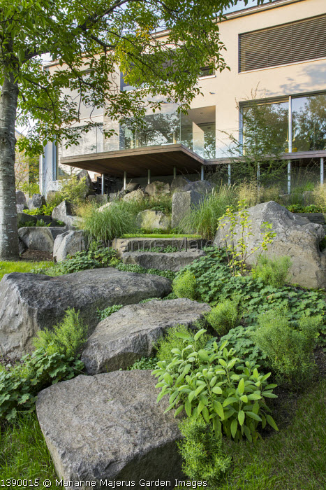 Contemporary basalt rock garden, Geranium renardii, Salvia officinalis, Campanula portenschlagiana 'Resholt' in cracks, Ribes nigrum, Juglans regia