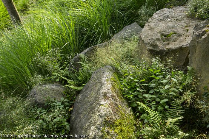 Eurybia divaricata syn. Aster divaricatus 'Beth Chatto' amongst large basalt rocks, Miscanthus sinensis 'Gracillimus'