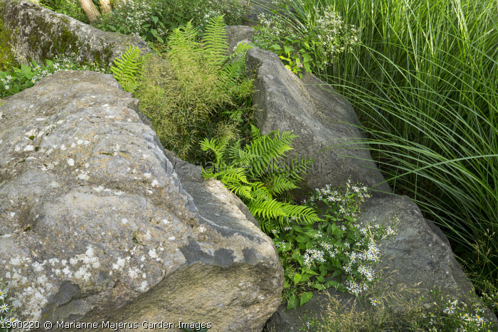 Ferns and Eurybia divaricata syn. Aster divaricatus 'Beth Chatto' inbetween large basalt rocks