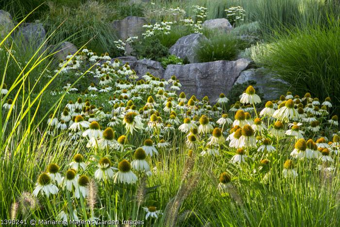 Contemporary basalt rock garden, drift of Echinacea purpurea 'White Swan', Pennisetum alopecuroides 'Hameln'