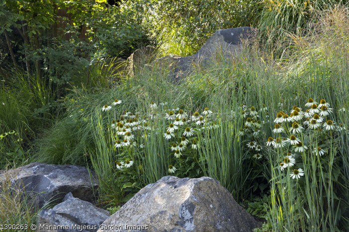 Contemporary basalt rock garden, drift of Echinacea purpurea 'White Swan', Miscanthus sinensis 'Adagio', Panicum virgatum 'Heavy Metal'