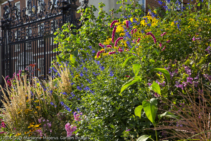 Persicaria orientalis, wrought iron gates, Salvia guaranitica 'Black and Blue', Rudbeckia laciniata 'Herbstsonne', Heliopsis helianthoides var. scabra 'Summer Nights'