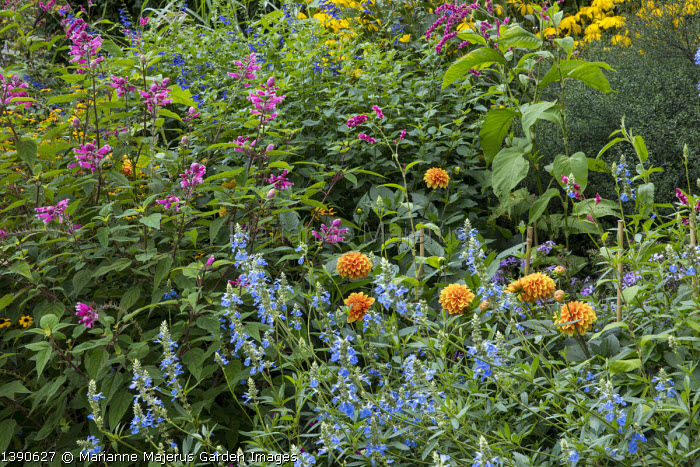 Salvia involucrata, Salvia uliginosa, Dahlia 'Wigo Super', Salvia guaranitica 'Black and Blue', Persicaria orientalis